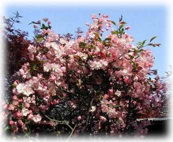 今読んでいる小説で、すごい美女を「海棠の花」と称しています