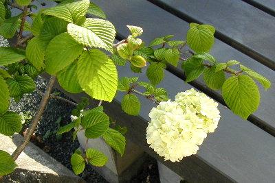 緑のつぼみが白い花に姿を変えます