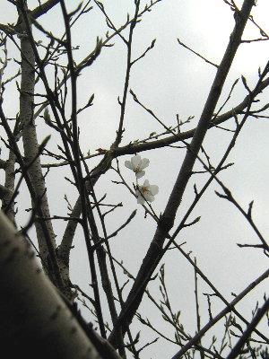 白く薄い花びら