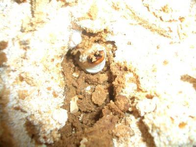 オーベル幼虫(菌糸)
