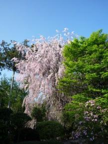 sakura de ryoanji