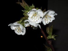cerisier22032008.jpg