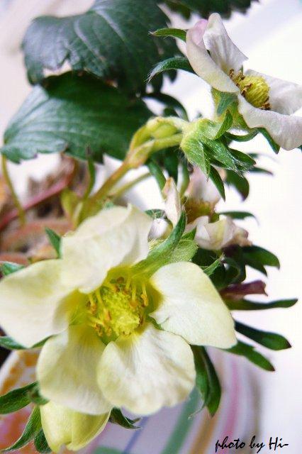 ワイルドストロベリー/花