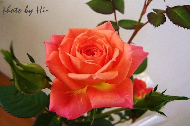 Kordana Rose