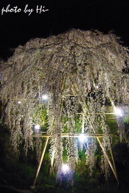枝垂桜/下部