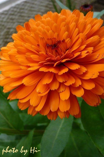 金盞花/オレンジ
