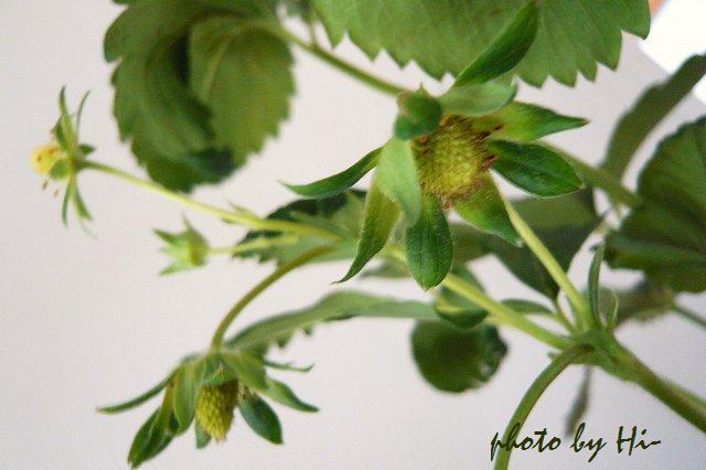 ワイルドストロベリー/緑の実