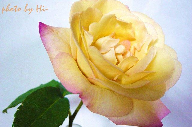 咲いたバラ
