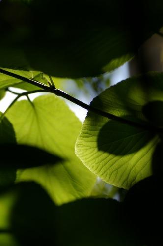 葉っぱを見上げるの 好きです