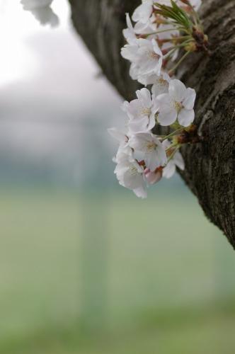 桜のつぼみ 好きです