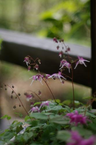 花ひらく前が やはり好き
