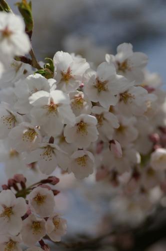 桜を求めて 山へ