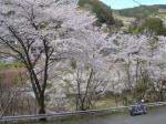 甘楽・那須の桜②