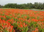 サルビアの花畑