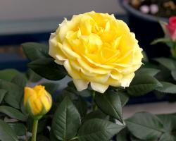 rose01b.jpg