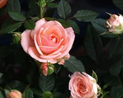 rose01c2.jpg