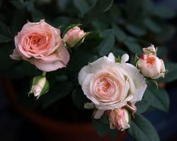 rose01d.jpg