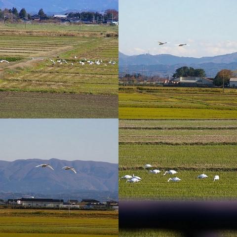 白鳥in庄内平野