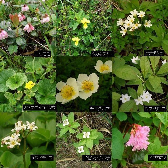 080629秋田駒ケ岳の花