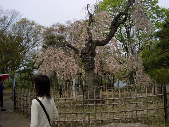 懐古園の枝垂桜
