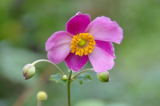 秋明菊ピンク