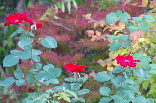 赤いバラとドウダンの紅葉