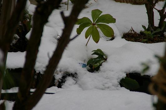 昨日の積雪の中はクリスマスローズ