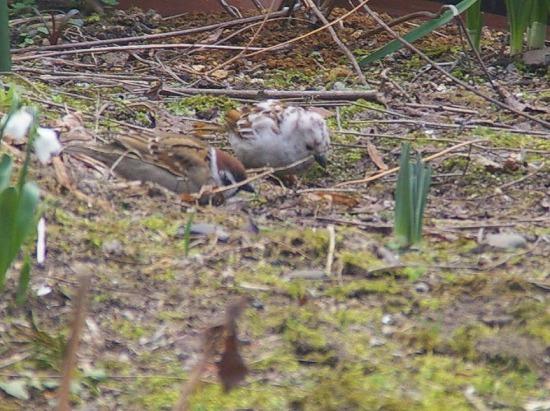 雀となぞの野鳥1