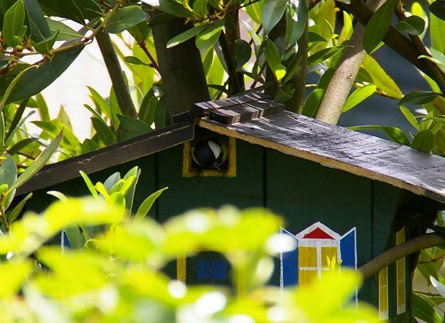 巣箱から覗く四十雀