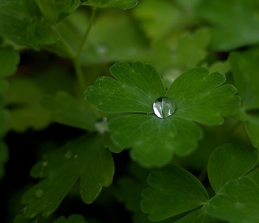 苧環の葉の水滴