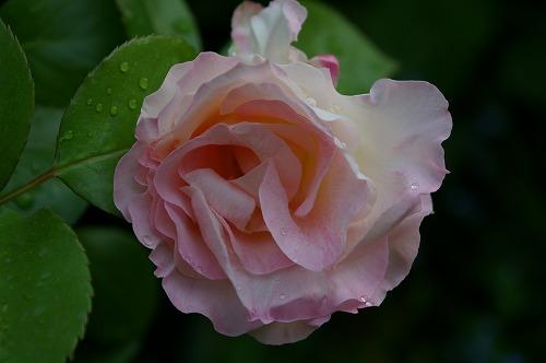 マチルダの開花