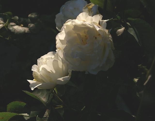 ホワイトメイディランド