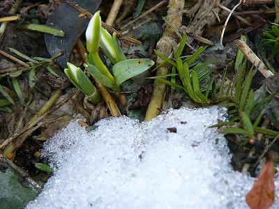 スノードロップの花芽
