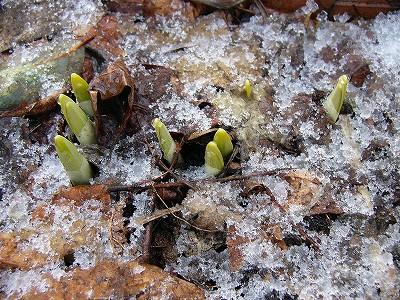 水仙の芽2