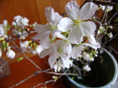 4/3桜開花