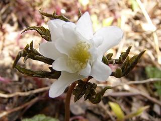 キク咲きイチゲ白