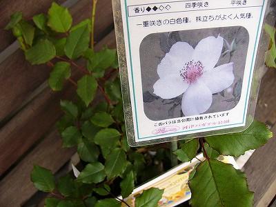 白バラの苗木