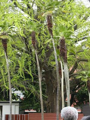 樹齢800年の柳