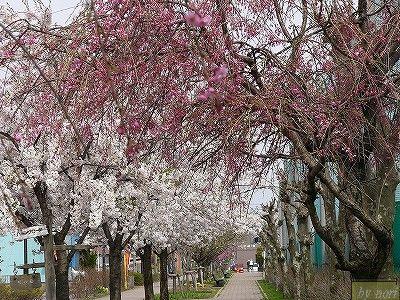 近くの公園の桜並木