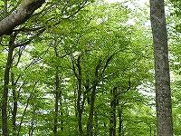 新緑のブナ林2