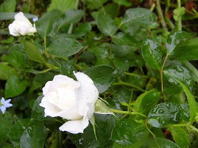 折れ枝に咲いたホワイトメイディランド