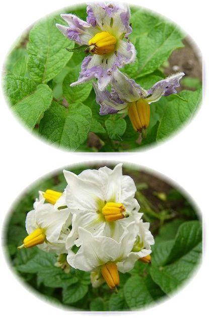茄子の花2種