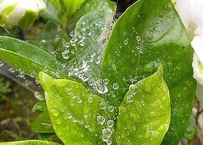 くもの巣の水滴