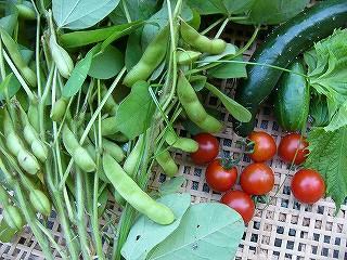 菜園から収穫