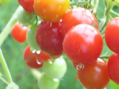 家庭菜園ミニトマト