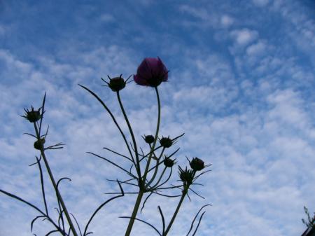 秋の空とコスモスシルエット