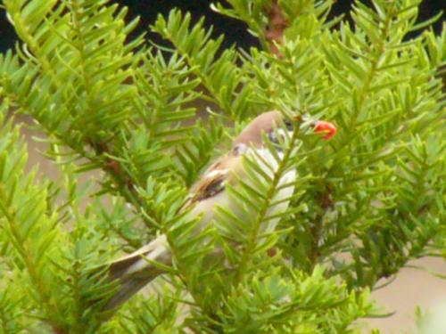 イチイの実をくわえる雀
