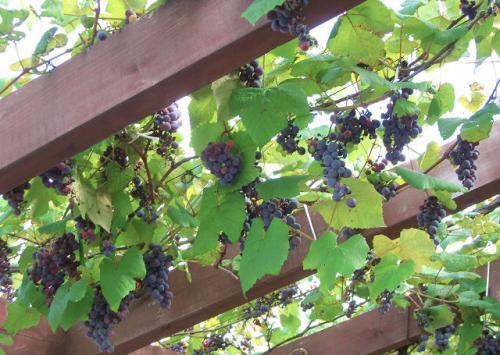 葡萄が実ってます