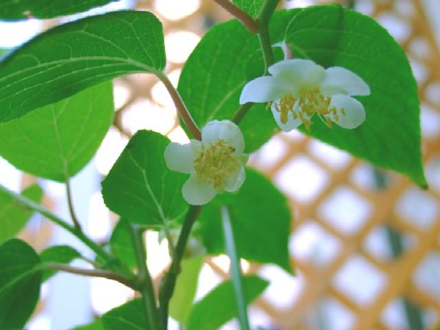 マタタビ花