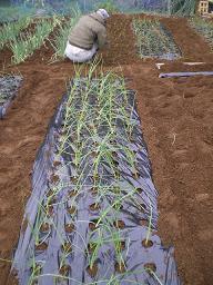 玉葱の苗、植え付け